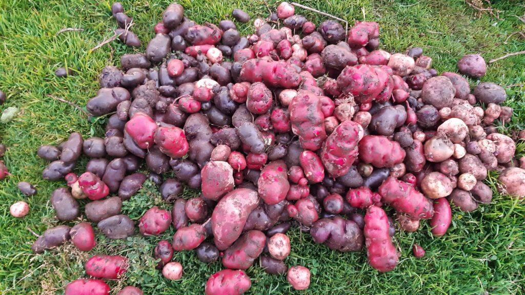 potato farming in lake huaypo
